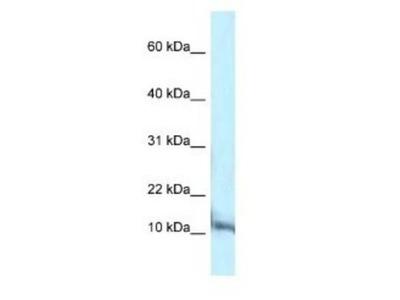 PCBD1 Antibody