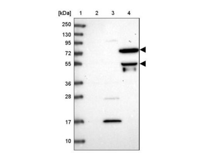 HPSE2 Antibody