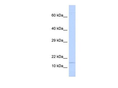 Ninjurin-1 Antibody