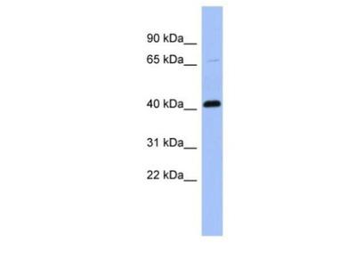 Properdin Antibody