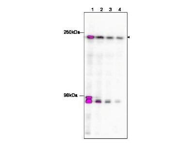 KAT4/TBP Associated Factor 1 Antibody