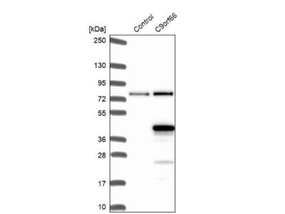 C9orf66 Antibody