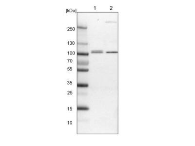 VPS53 Antibody