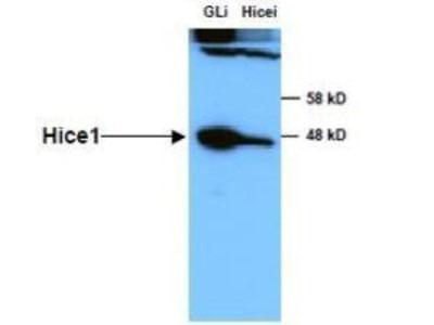 Rabbit Polyclonal HAUS8 Antibody
