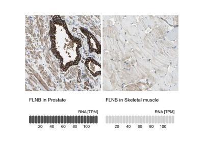 Filamin B Antibody