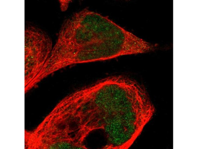 CPED1 Antibody