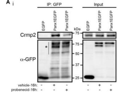 Mouse Monoclonal CRMP2 Antibody