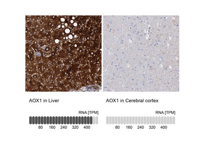 Aldehyde Oxidase 1 / AOX1 Antibody