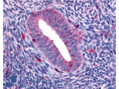 KLK4 / Kallikrein 4 Antibody