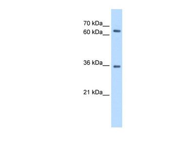 PR48 Antibody