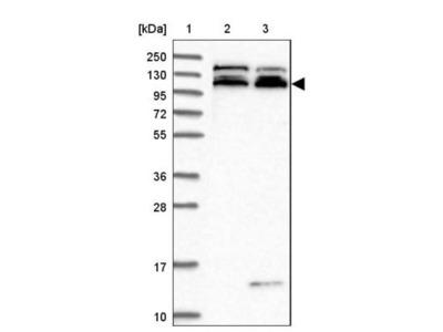 KIAA1468 Antibody