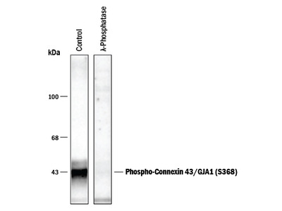 Phospho-Connexin 43 / GJA1 (S368) Antibody