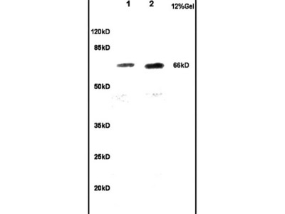 CKAP4 Antibody, Biotin Conjugated