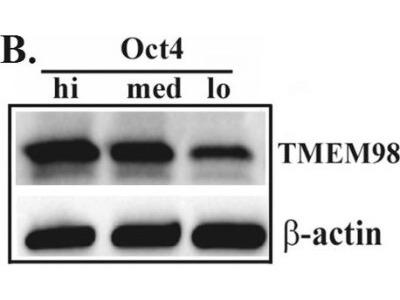 TMEM98 Antibody