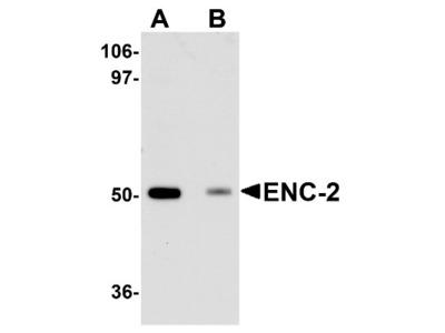 KLHL25 Antibody