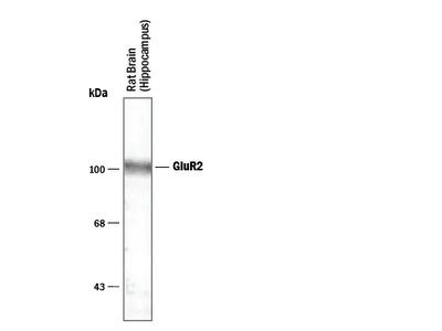 GluR2 Antibody