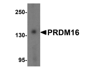 PRDM16 / MEL1 Antibody