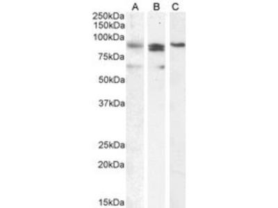 BLIMP1 / PRDM1 Antibody