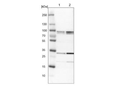 MAK10 Antibody