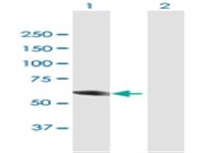 CRMP4 Antibody
