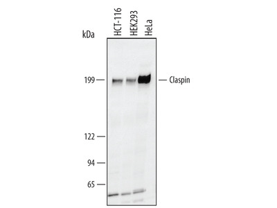 Claspin Antibody