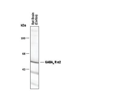 GABA-A R alpha 2 Antibody