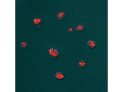 Histone H2AX Antibody