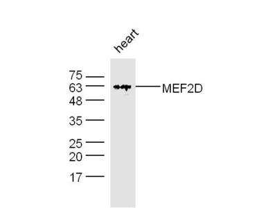MEF2D Antibody