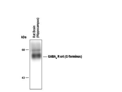 GABA-A R alpha 4 C-Terminus Antibody