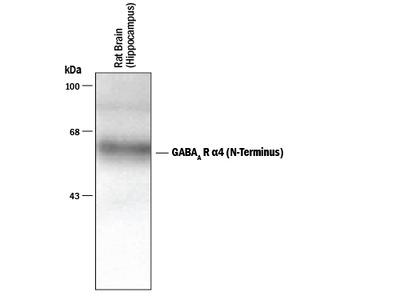 Human / Mouse / Rat GABA-A R alpha 4 N-Terminus Antibody