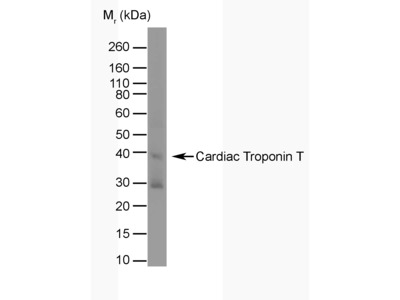 MOUSE ANTI TROPONIN T CARDIAC ISOFORM 1