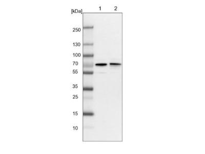 RIOK3 Antibody