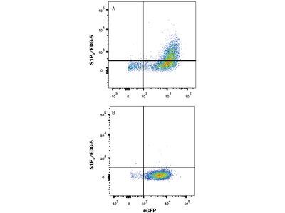 S1P2 / EDG-5 Antibody