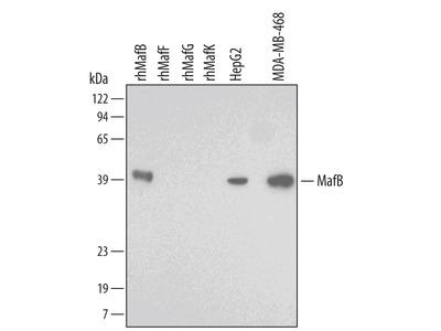 Human / Rat MafB Antibody