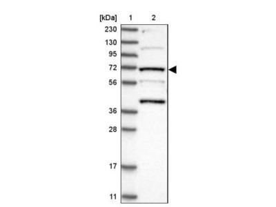 KLC4 Antibody