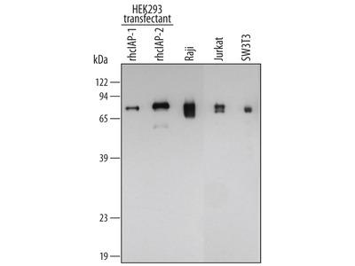 cIAP (pan) Pan-specific Antibody