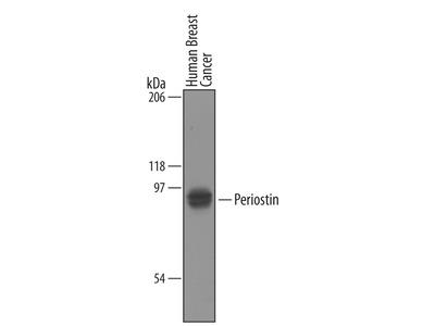 Periostin /OSF-2 Antibody