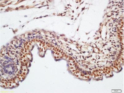 KLHL7 Antibody