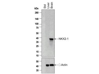 TTF1 Antibody, FITC Conjugated