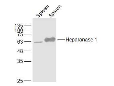 Heparanase Antibody, Cy3 Conjugated