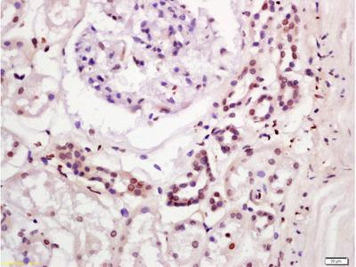 IGFBP9 Antibody