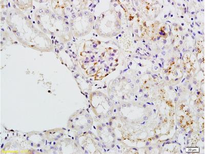 AP-TNAP/ALPL Antibody, Biotin Conjugated