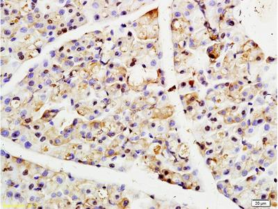 Clathrin heavy chain Antibody, Biotin Conjugated