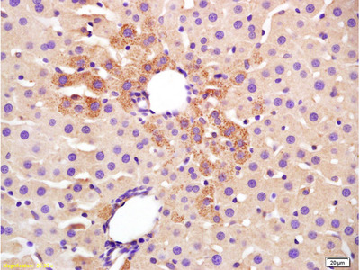 TGM2 Antibody