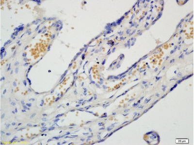 PAF Polyclonal Antibody, Biotin Conjugated