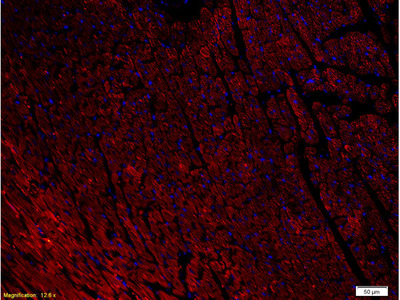 NPY1R Antibody, Biotin Conjugated