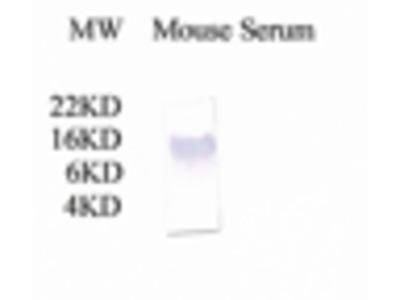 Anti-C3 / C3a antibody