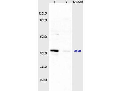 HSD17B1 Antibody, FITC Conjugated