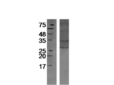 Glycophorin C Antibody