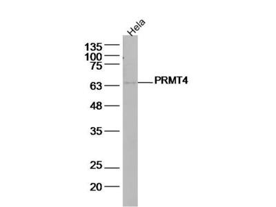 PRMT4 Antibody